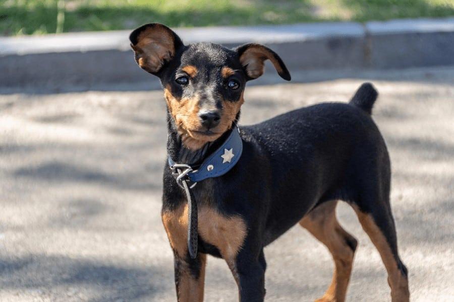 dog wearing an eco friendly collar