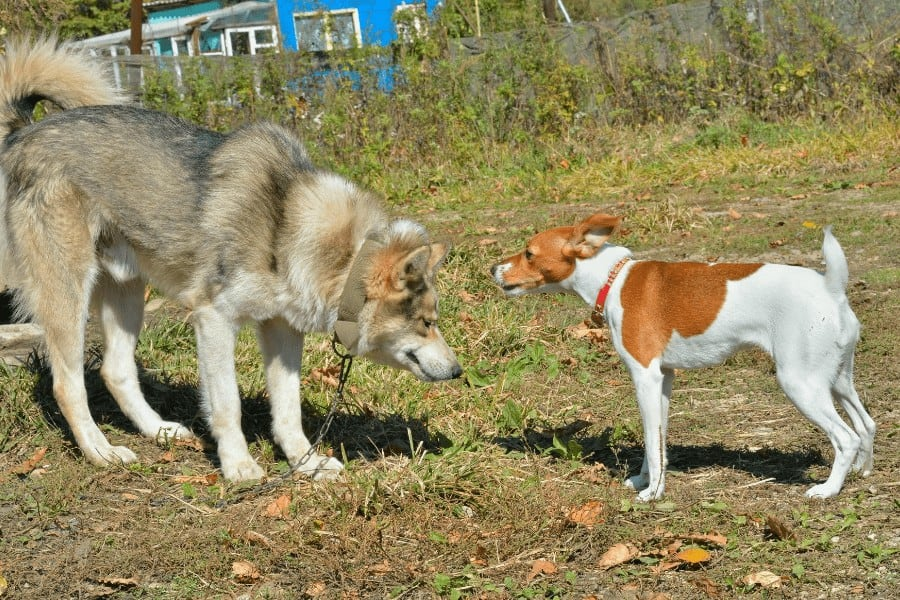 small dog and large dog stare at each other
