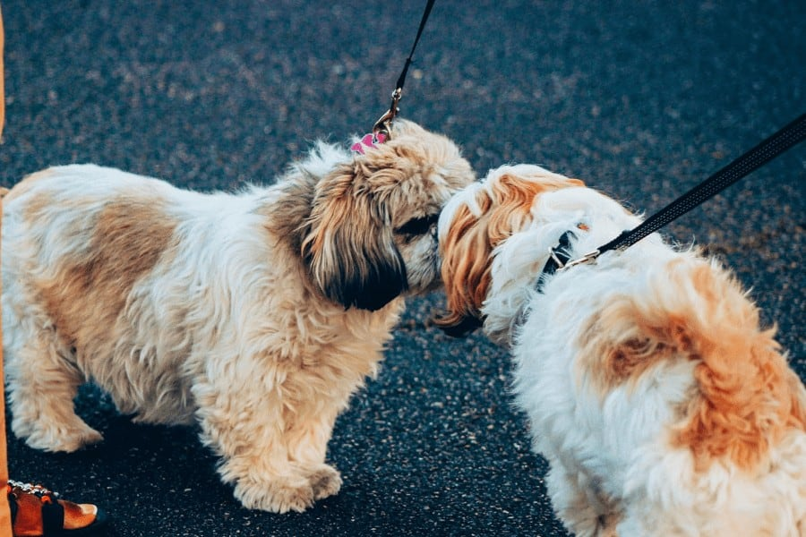 two curly hair dogs on leashes being introduced to each other