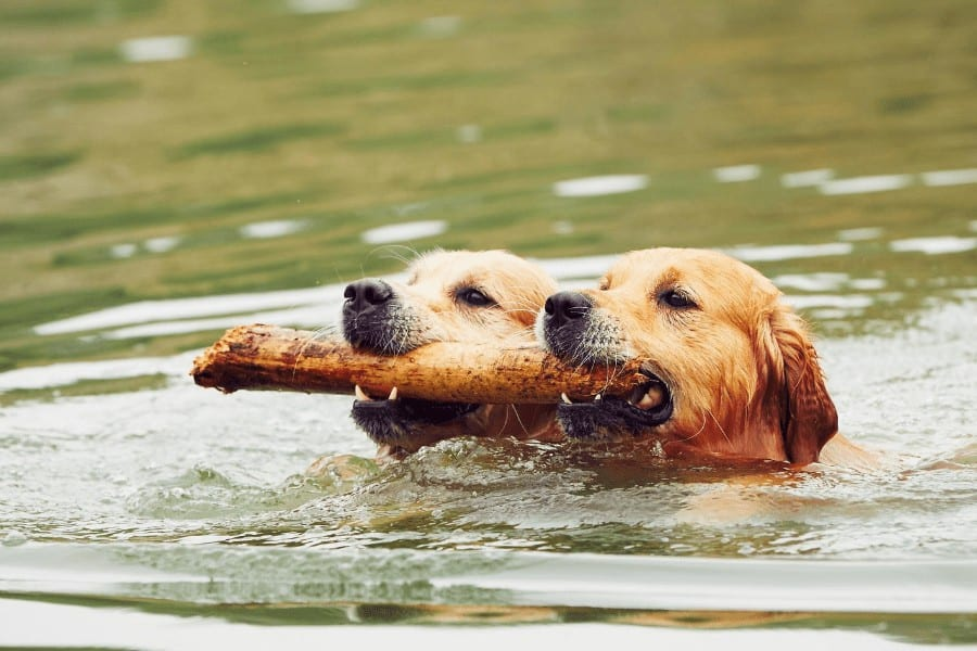 two dogs swimming and holding a stick in their mouths
